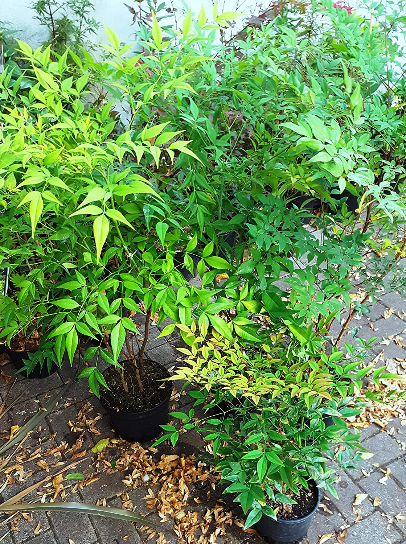Future Exotics Rote Nandina Domestica Richmond Heiliger Bambus