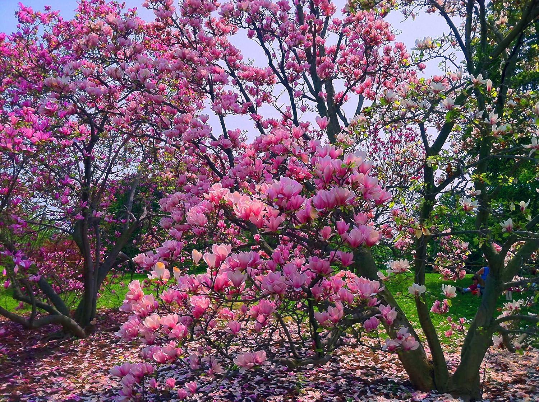 Amazoncom Magnolia Stellata Susan Purpleredwhite Bloom Tulip