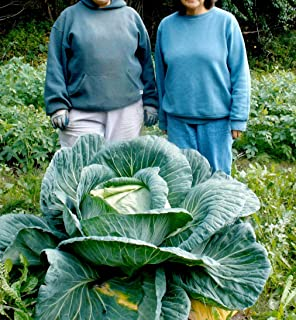 Giant Cabbage 10 Seeds A huge variety often weighing 10-12 pounds per head