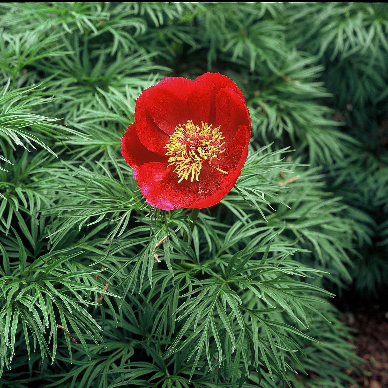 wilde Pfingstrose für Ihren Garten - Paeonia tenuifolia Netzblatt-Pfingstrose flowerpowerfarm.ch