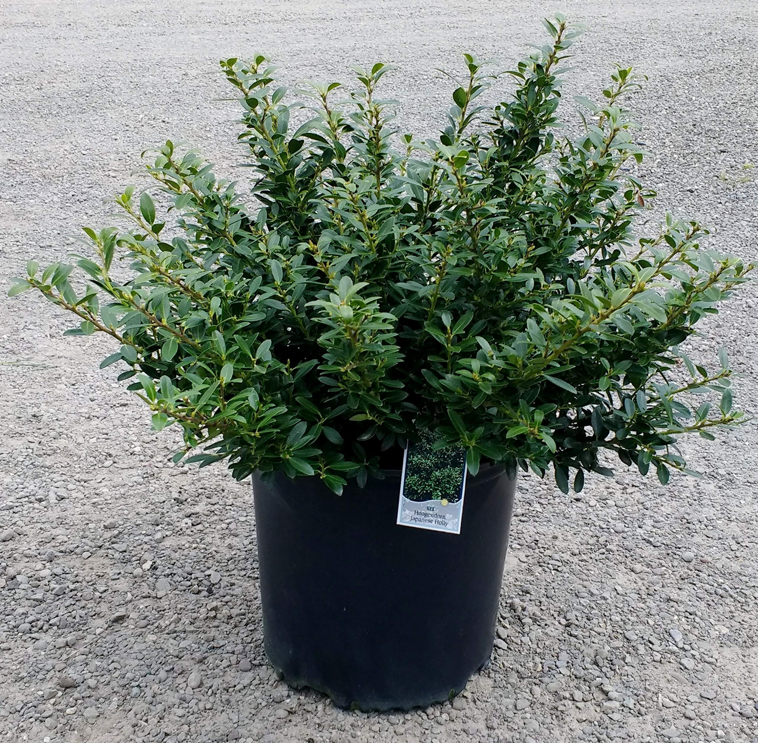 Hoogendorn Japanese Holly - Easy-Care Dwarf Evergreen Shrub - 3 Gallon Pot by Rogers' Nursery