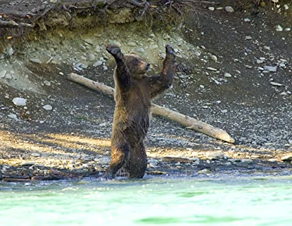 Image result for bear standing up