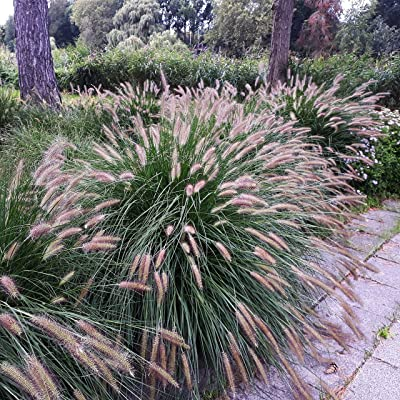 Outsidepride Chinese Fountain Ornamental Grass Seed - 100 Seeds: Garden & Outdoor