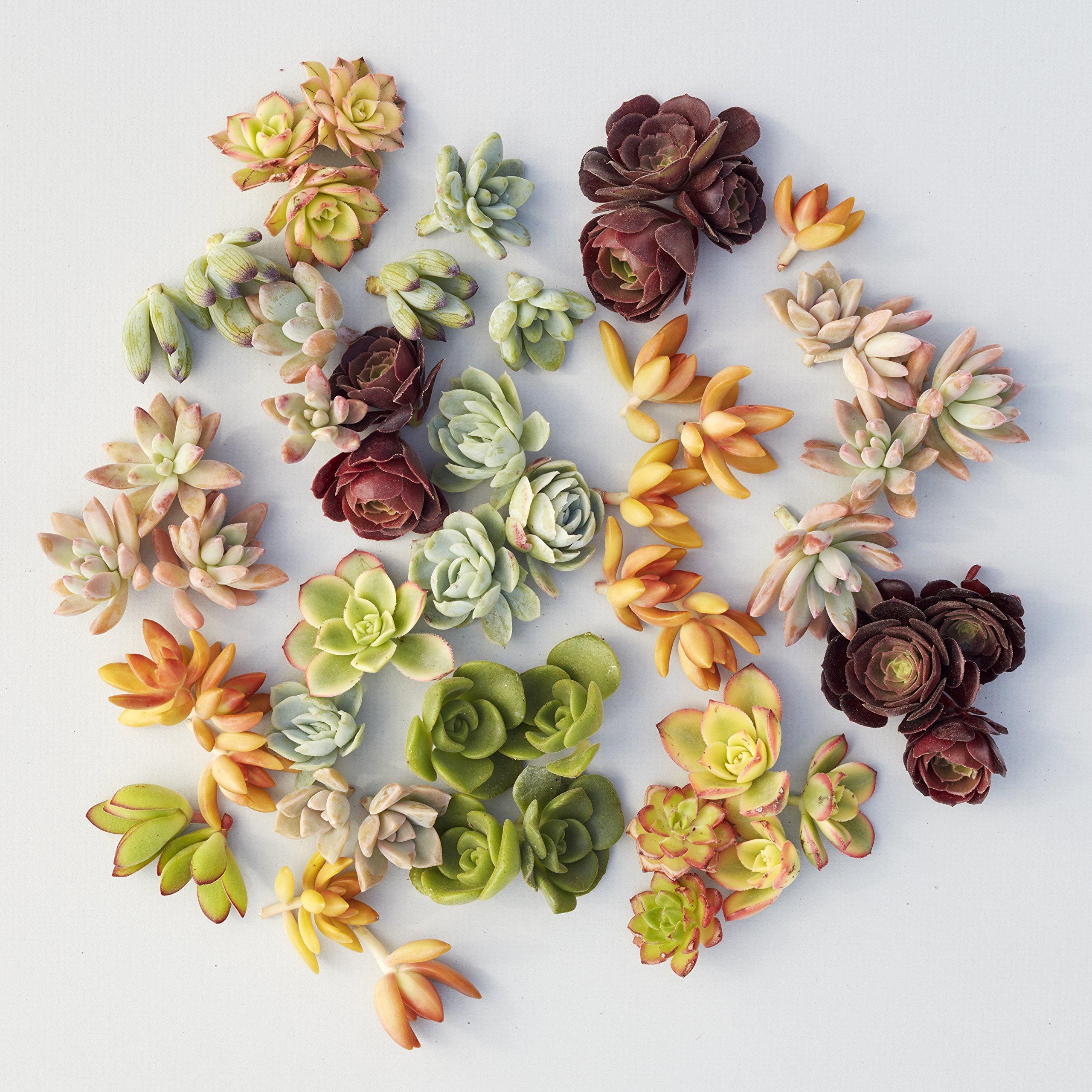 Succulent Gardens Set of 100 Assorted Succulent Cuttings Plant, Multicolor by Succulent Gardens (Image #1)