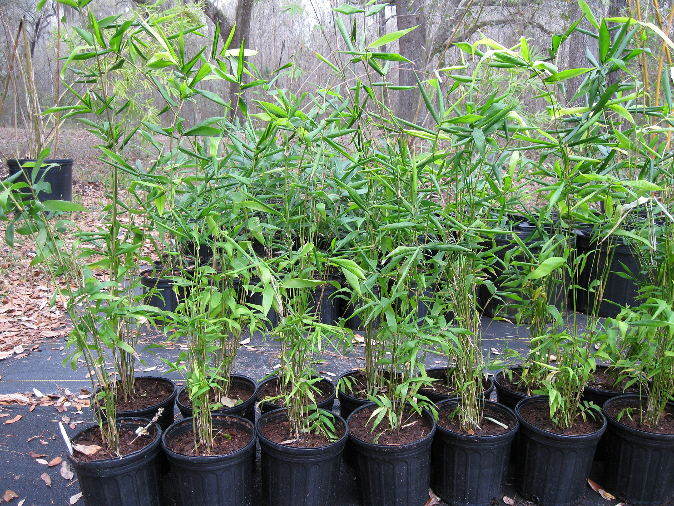 Box of 4 Plants - Bambusa Oldhamii Giant Timber Bamboo - LARGE 1 GALLON PLANTS - Non-Invasive Clumping Variety t