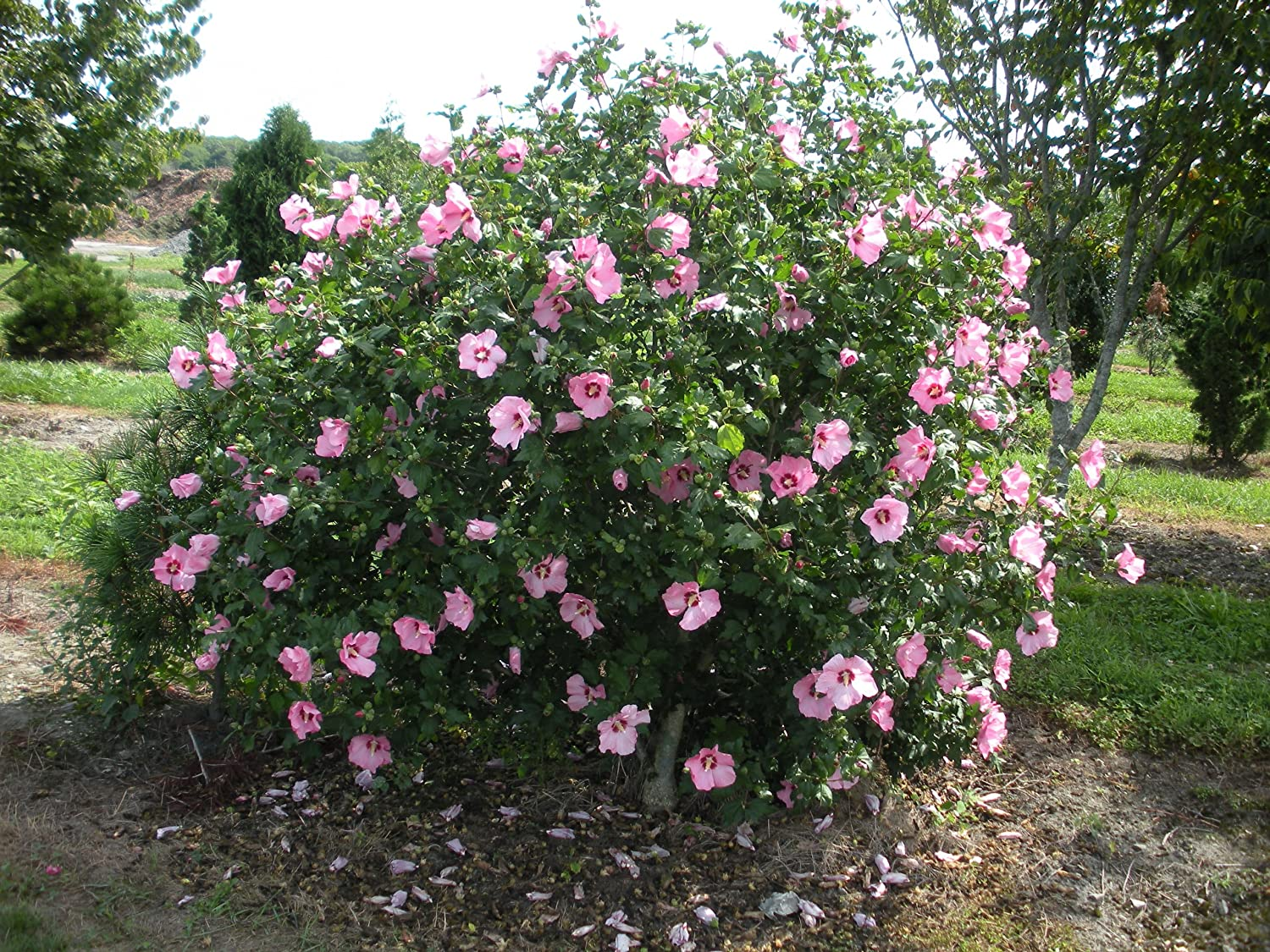 Lovely Rose Of Sharon Aphrodite Hardy Pink Hibiscus Syriacus