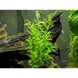 Water Sprite aka Indian Water Fern (Ceratopteris thalictroides) - 6 to 8 inch Bunch - Live Aquarium Plant by Aquatic Arts