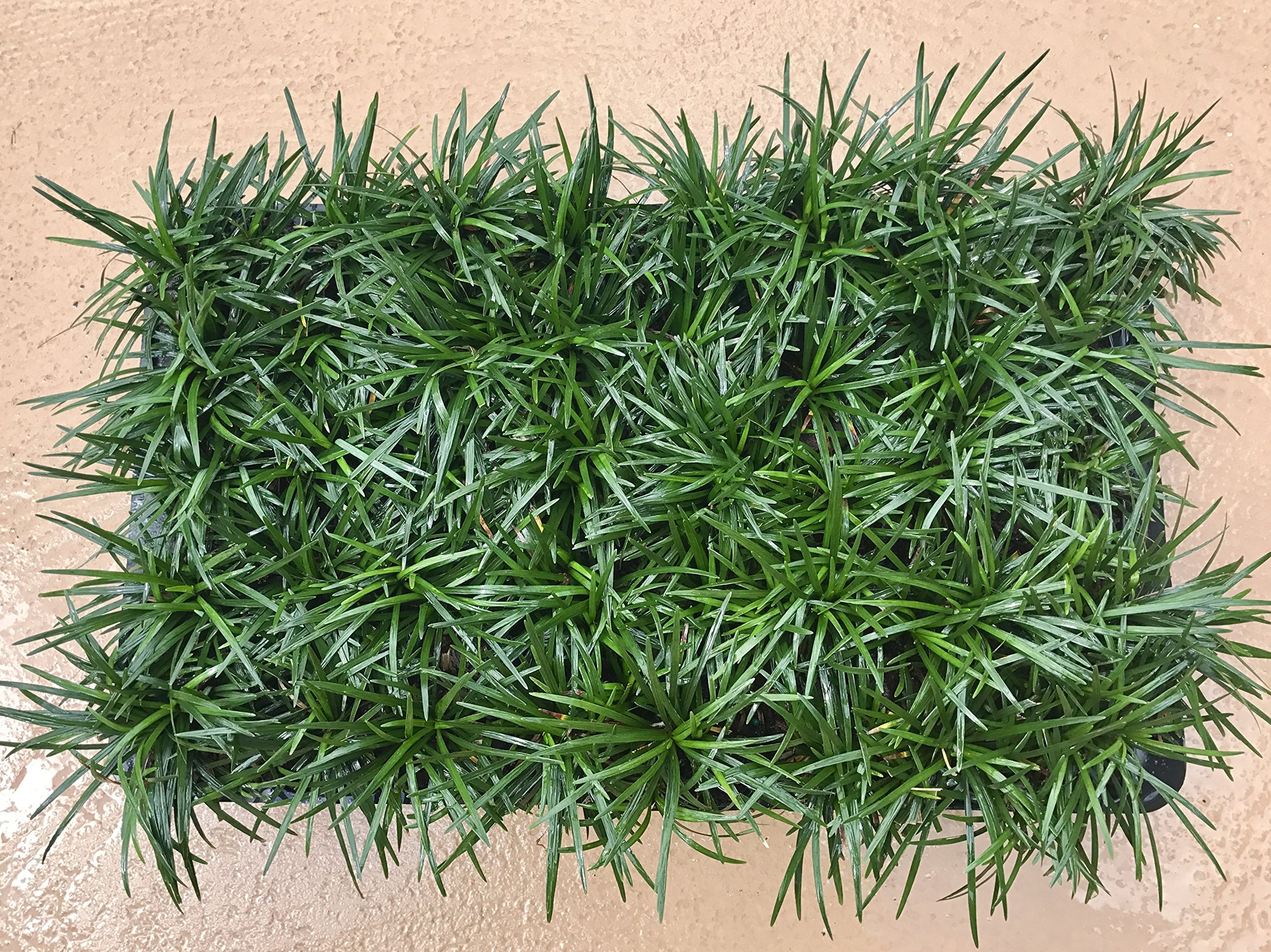 Dwarf Mondo Grass Qty 72 Live Plants Shade Loving Groundcover by Florida Foliage (Image #2)