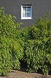 """Immergrüner Schirmbambus """"Rufa"""" (Fargesia rufa) - Winterharte Bambus-Pflanze ohne Ausläufer von Garten Schlüter"""