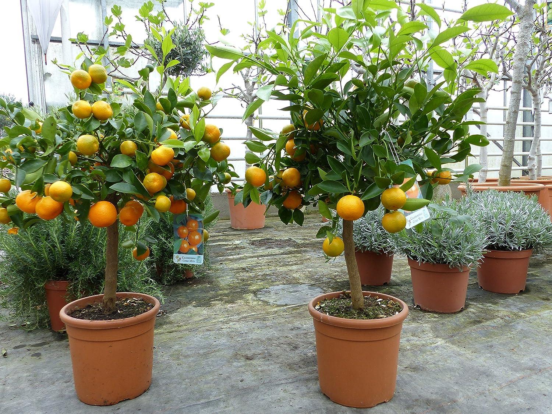 reifen Orangenbaum zu verkaufen
