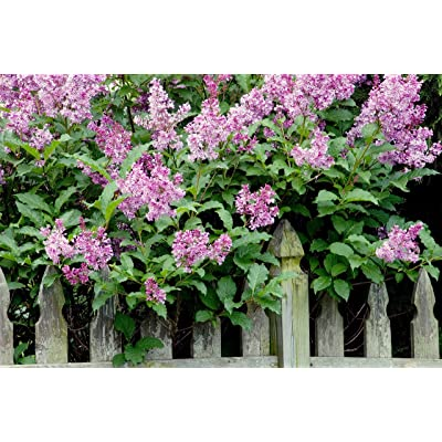 (2 Gallon) 'Miss Kim Lilac' Compact Shrub with Lavender to Blue, Sweetly Fragrant Single Flowers in Dense Clusters in May and June. : Garden & Outdoor