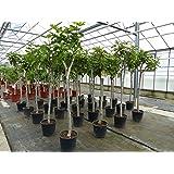 Feigenbaum Stamm 10-15 cm, Ficus Carica winterhart 160-180 cm