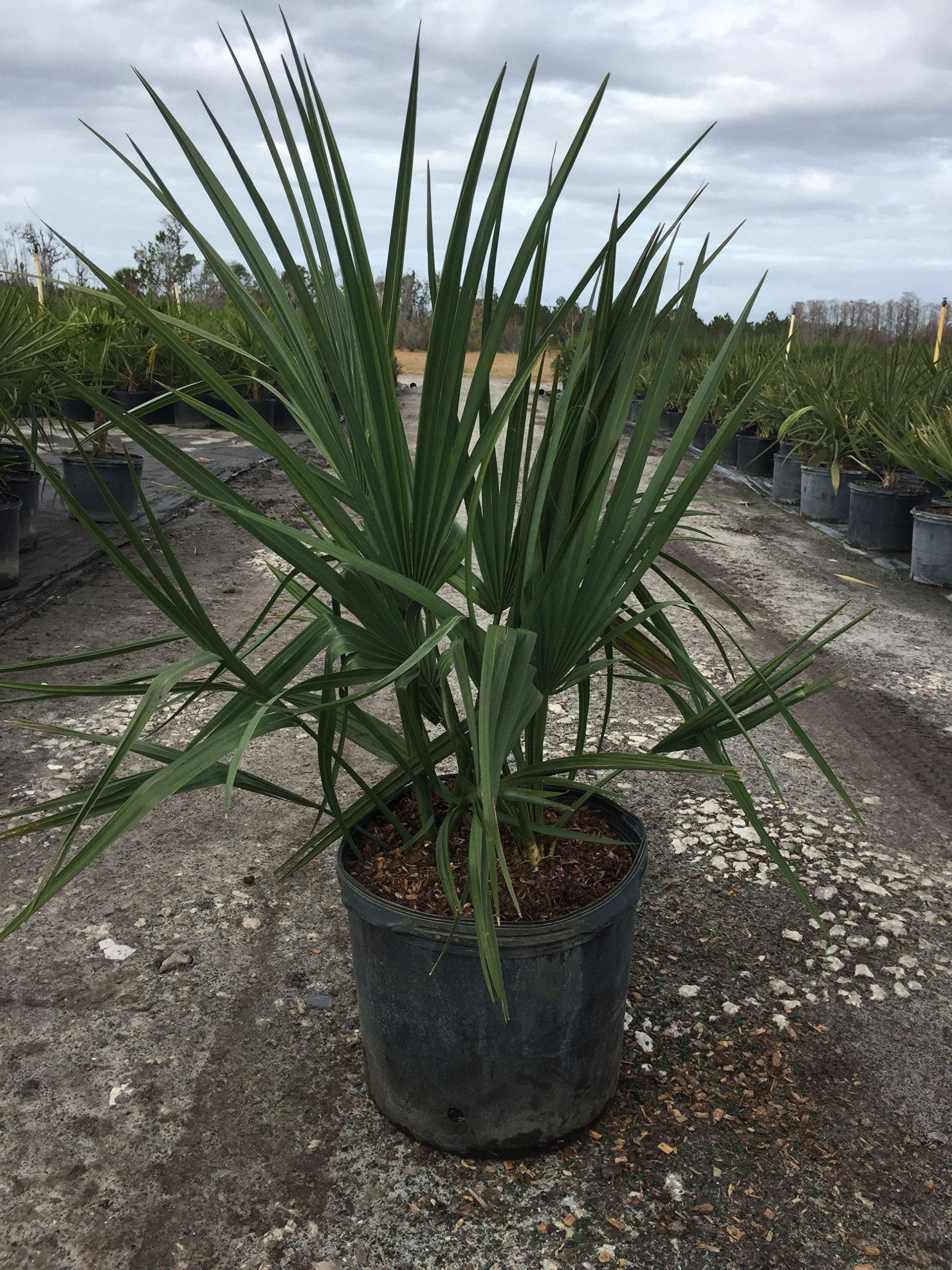 PlantVine Sabal Minor, Dwarf Blue-stem Palmetto - Large - 8-10 Inch Pot (3 Gallon), Live Plant - 4 Pack by PlantVine (Image #3)