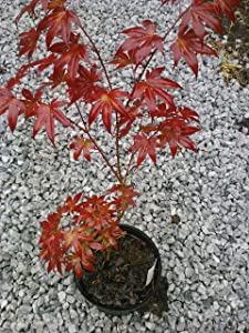 (1 Gallon) BLOODGOOD Japanese Maple-a Gorgeous Upright, Attractive Foliage with Burgundy red Coloring Turns Brilliant Scarlet in Fall.