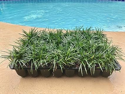 Amazon dwarf mondo grass qty 40 live plants shade loving dwarf mondo grass qty 40 live plants shade loving groundcover workwithnaturefo