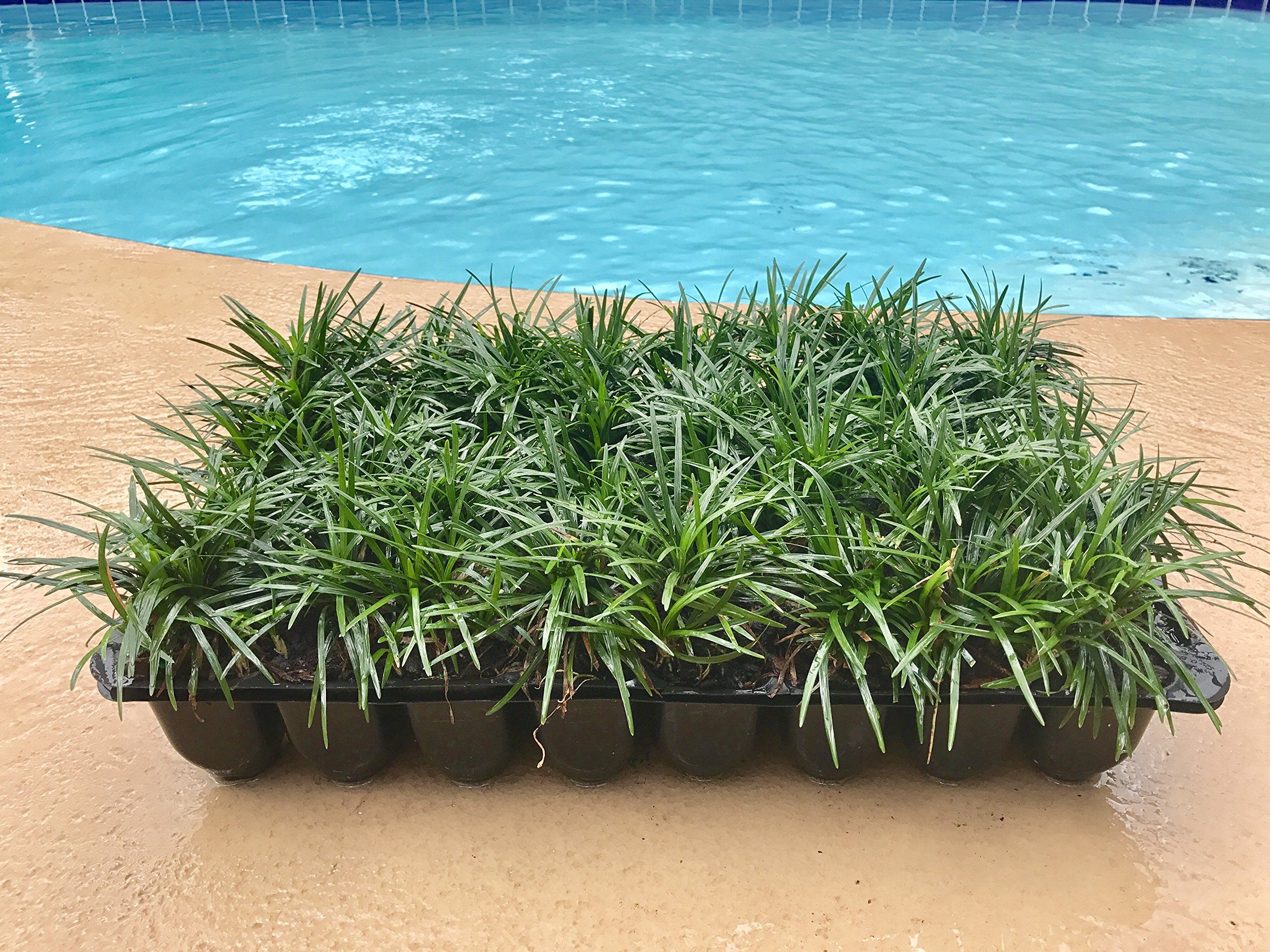 Dwarf Mondo Grass Qty 72 Live Plants Shade Loving Groundcover by Florida Foliage (Image #1)
