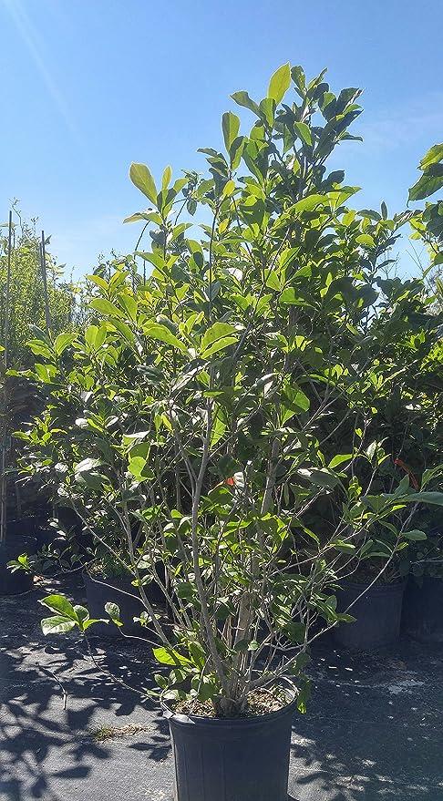 Amazon Com Jane Magnolia Tree 5 G Garden Outdoor