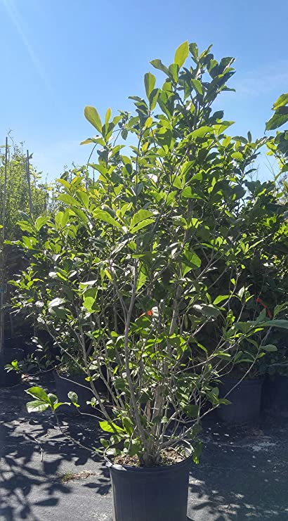 Amazoncom Jane Magnolia Tree 5 G Garden Outdoor