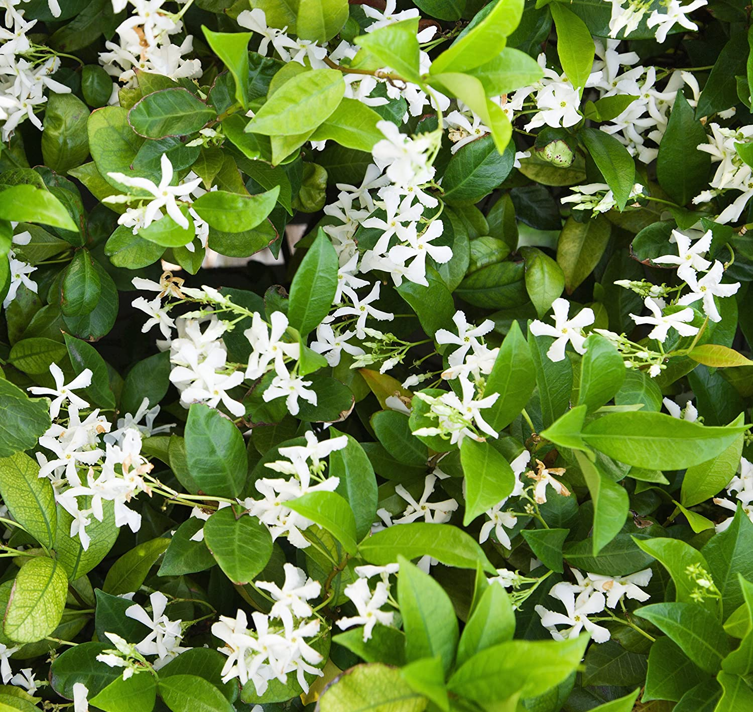 Amazon hardy jasmine jasminum officinale 1 plant in pot amazon hardy jasmine jasminum officinale 1 plant in pot deliciously fragrant ships from easy to grow tm garden outdoor izmirmasajfo