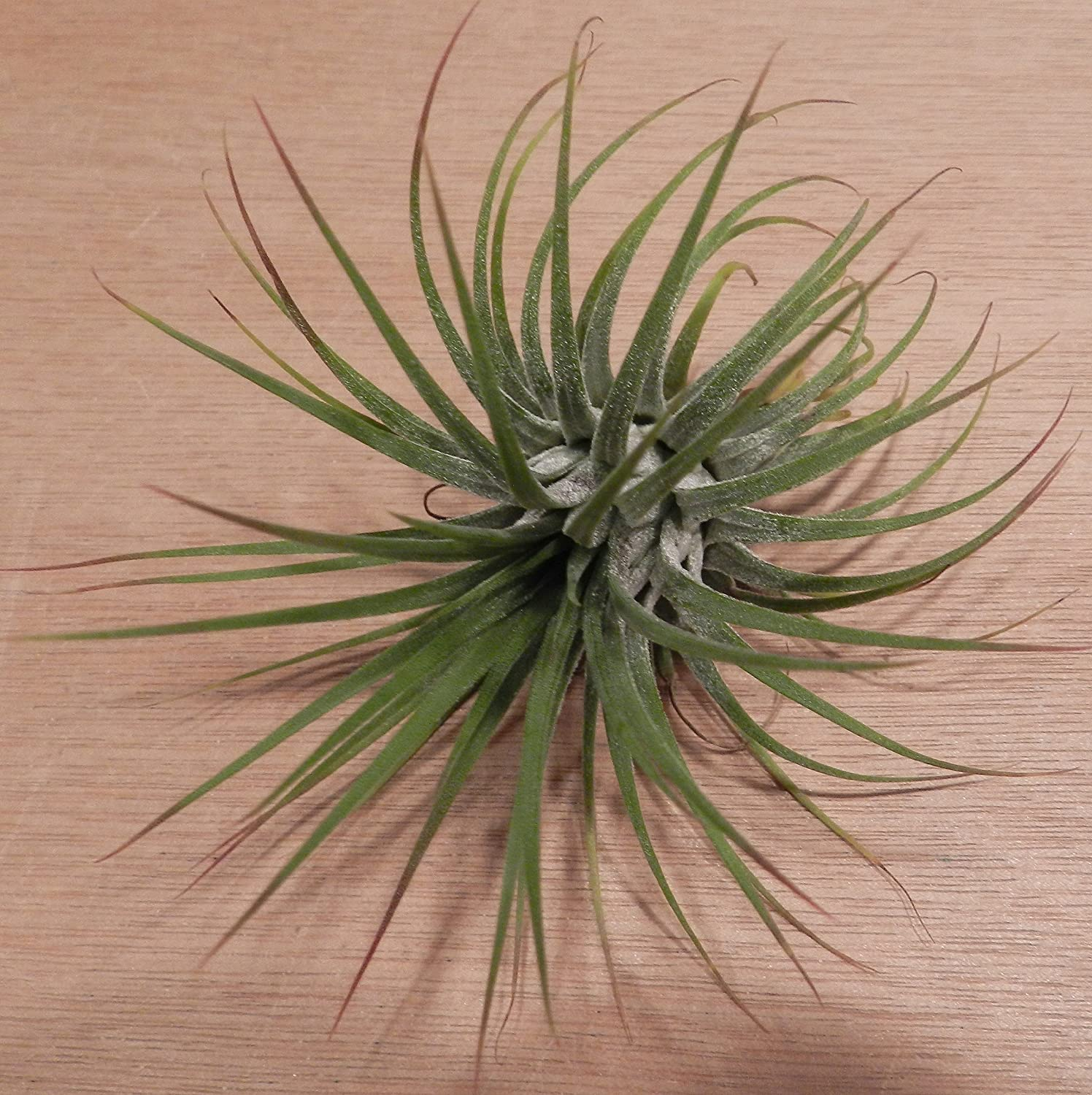 Amazon.com : Hinterland Trading Three Pack of Air Plant Tillandsia ...