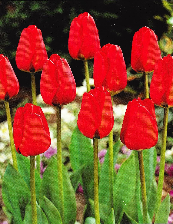 GARTHWAITE NURSERIES® : - 100 Apeldoorn Darwin Hybrid Red Tulip Bulbs. Hardy Spring Garden Perennial