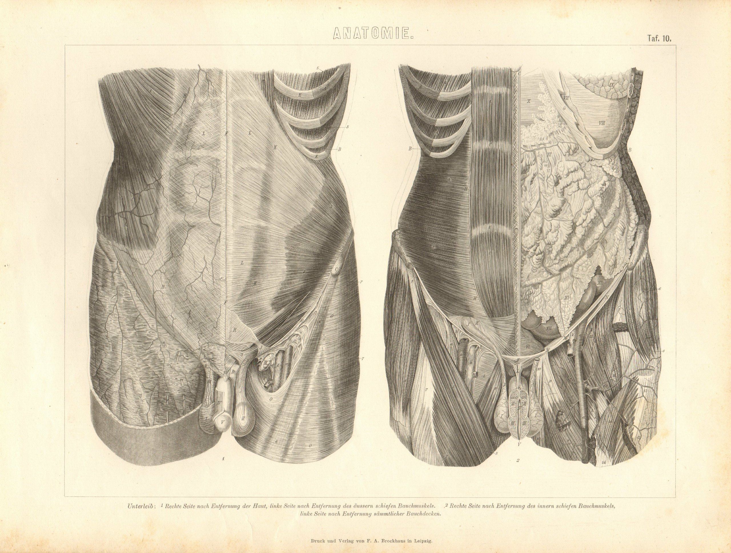 Unterleib des Menschen; Anatomie. TafelNr.10 . Historischer Stich ...