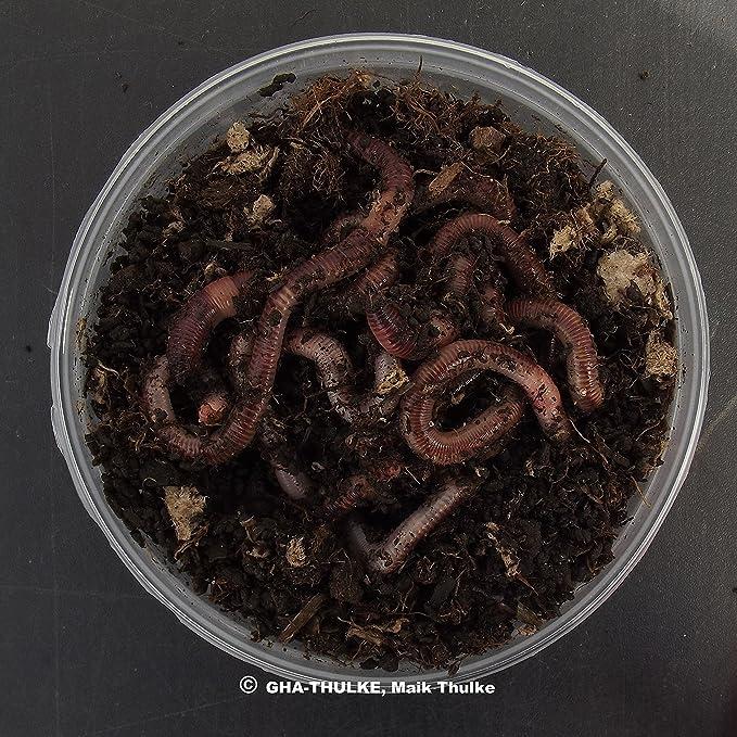 Dendrobena Lebendköder Rotwurm Rotwürmer Lebend Würmer Big Groß 15 St.+