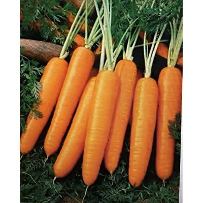 1000+ Certified Organic Scarlet Nantes Coreless Carrot (TYK) Seeds : Garden & Outdoor