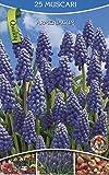 Amazon.de Pflanzenservice Traubenhyazinthen, Muscari Ammoniacum, blaublühend, Größe 6/7, 75 Zwiebeln, Blumenzwiebeln, Frühjahrsblüher