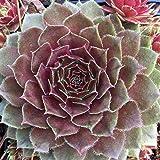 Sempervivum Hybride 'Rubin' - Hauswurz, Dachwurz, Steinwurz, im 0,5 Liter Topf, lachsrot blühend