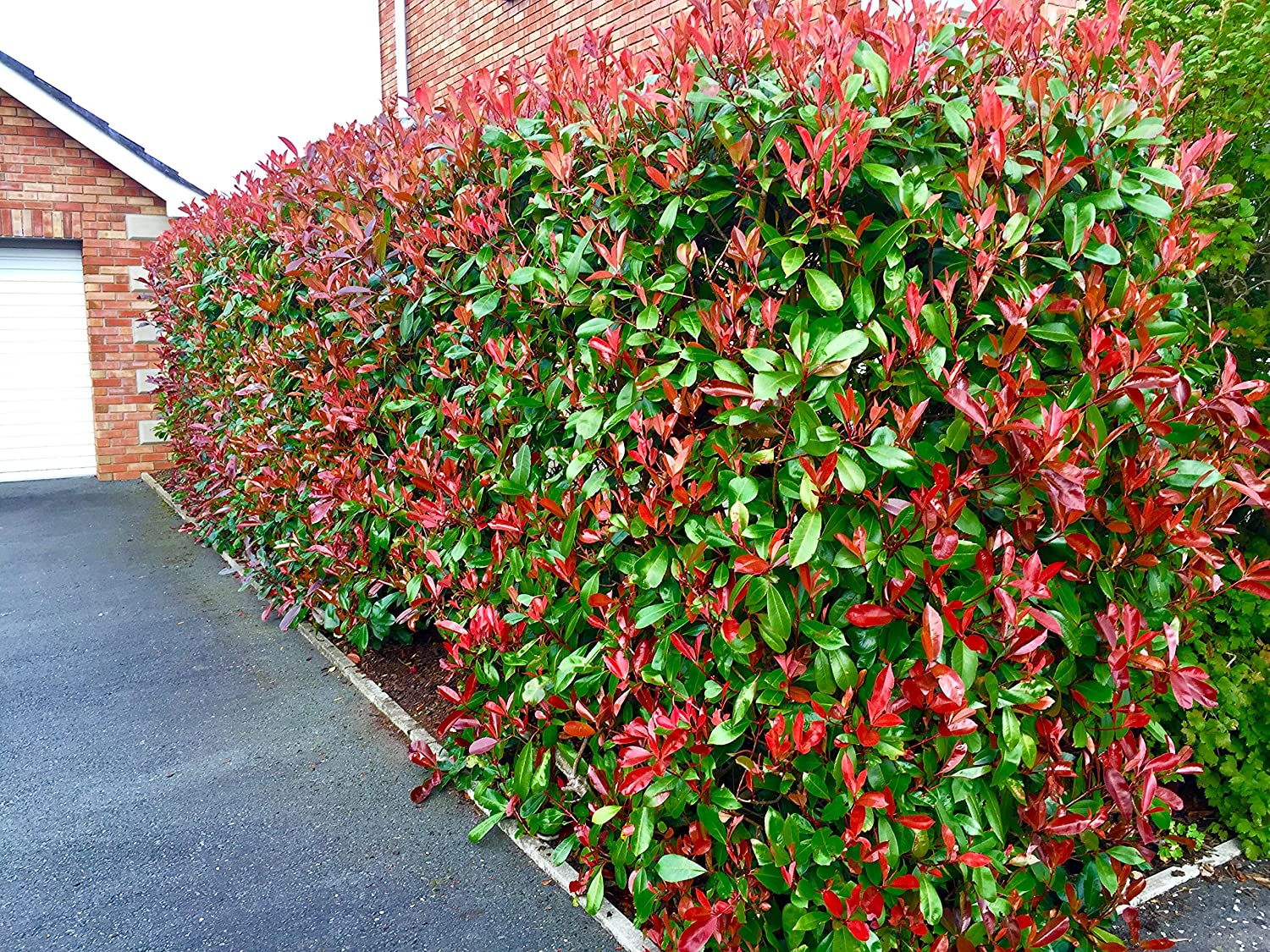 10 Photinia Red Robin Hedging Plants 20-30cmHealthy Evergreen shrubs by Sunnyside Nurseries