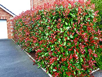 3 Photinia Red Robin Hedging Plants 25 40cm Big Pots Evergreen Shrubs By Sunnyside Nurseries
