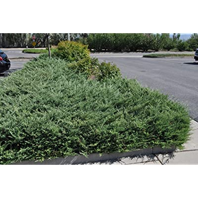 Live Bar Harbor Juniper aka Juniperus horiz. 'Bar Harbor' Plant Fit 1 Gallon Pot : Garden & Outdoor