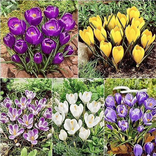 Woodland Bulbs 100 X Crocus Bulbs Large Flowering Mixed Spring Flowering Bulbs Free Uk P P Amazon Co Uk Garden Outdoors
