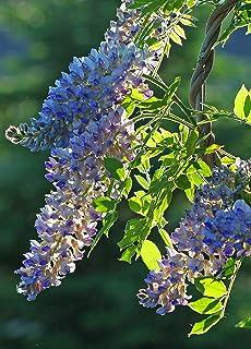 Amazoncom Pinky Bells Abelia Grandifolia Lavenderpink Blooms