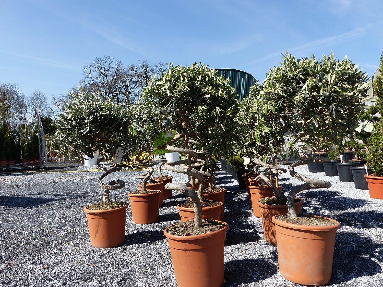 Olea europaea Olivenbaum 5 Samen Kübel-Pflanze Ölbaum frosthart bis -10°C