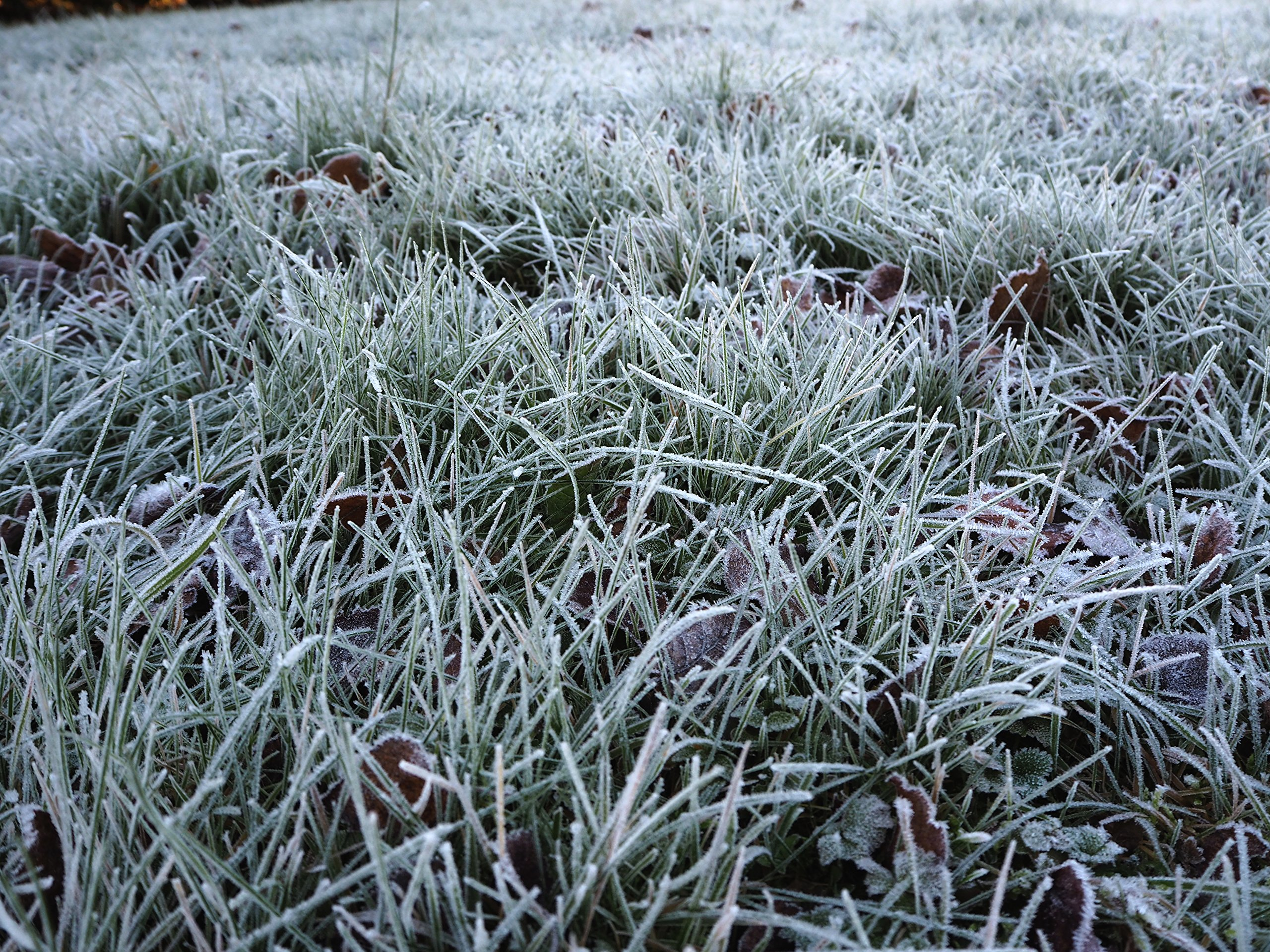 Snowy Frosted Grass