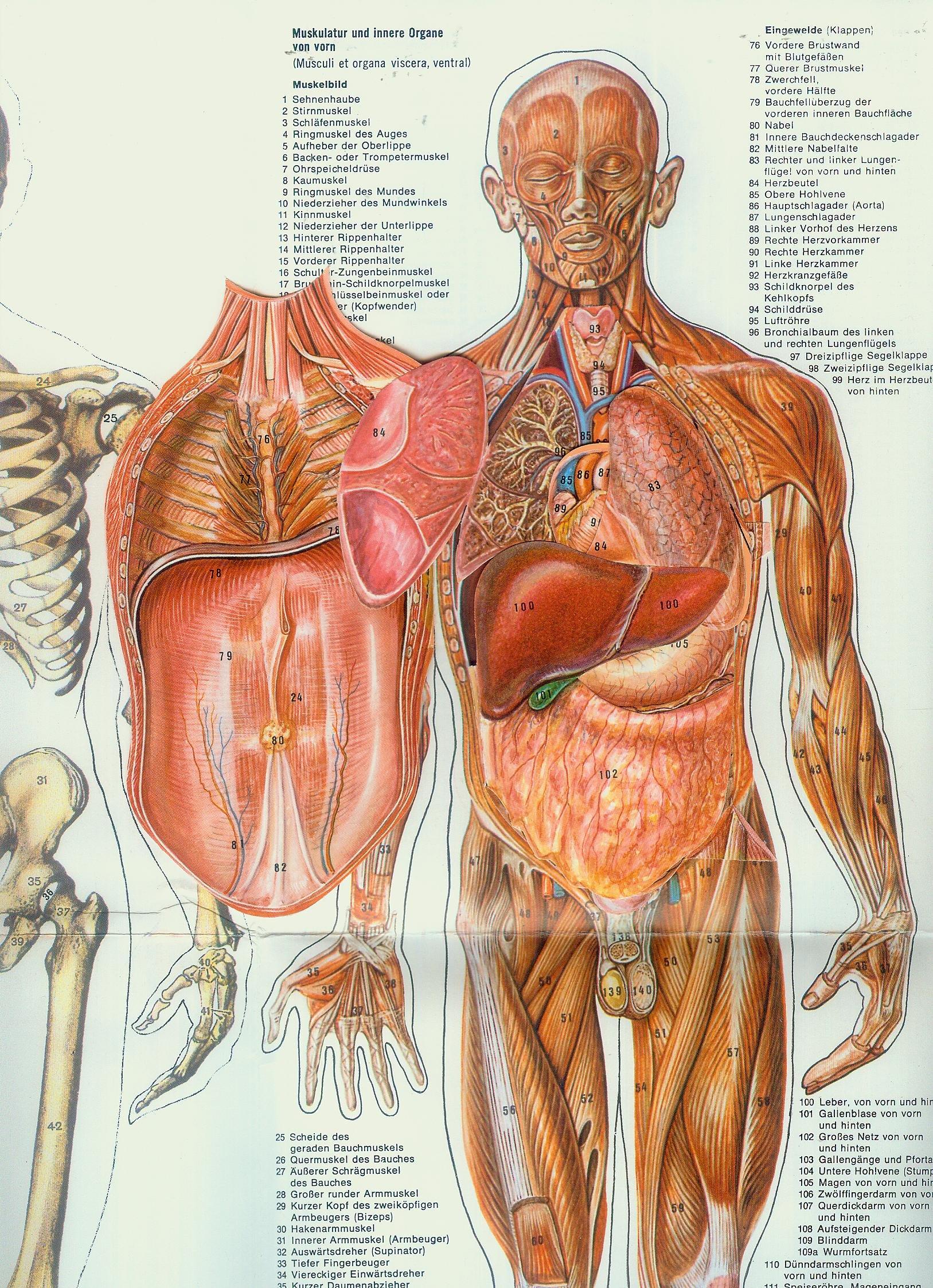 Anatomische Tafel - Mann: Amazon.de: Bücher