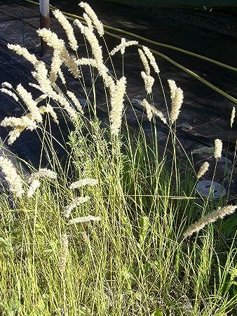 Katzenminze Nepeta x faassenii 24 Pflanzen im 5//6 cm Topf