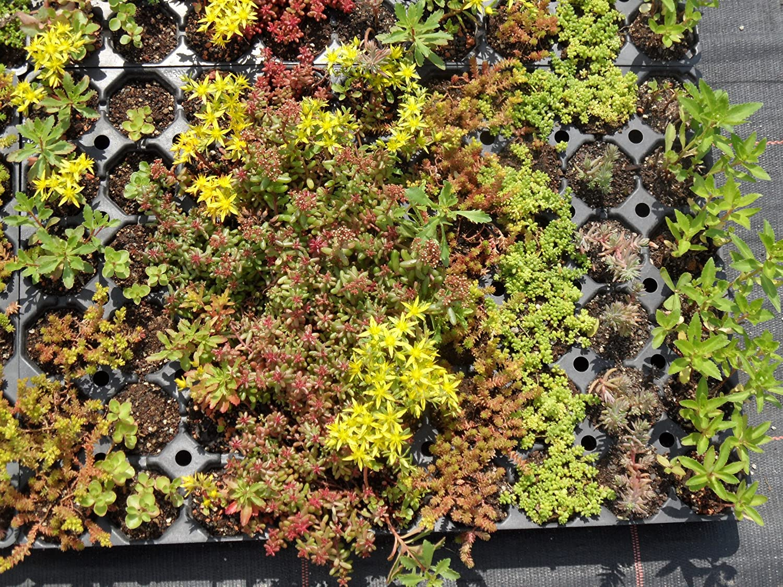 Immergrunes Balkonpflanzen Set 6 Wintergrune Pflanzen Harro S
