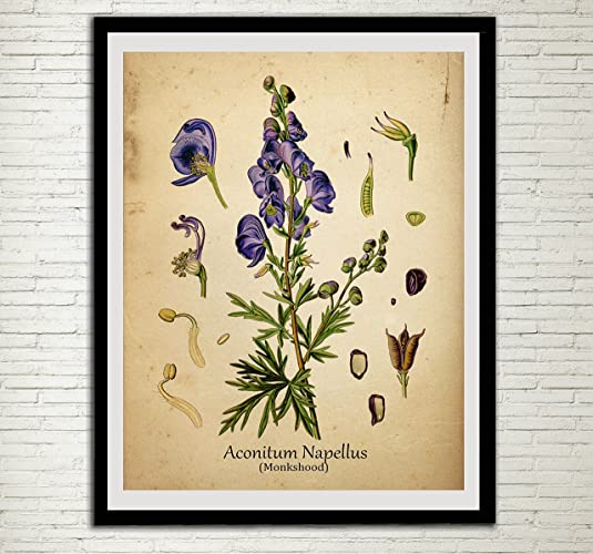 Amazon.com: Monkshood Plant Print Poisonous Antique Botanical Home ...