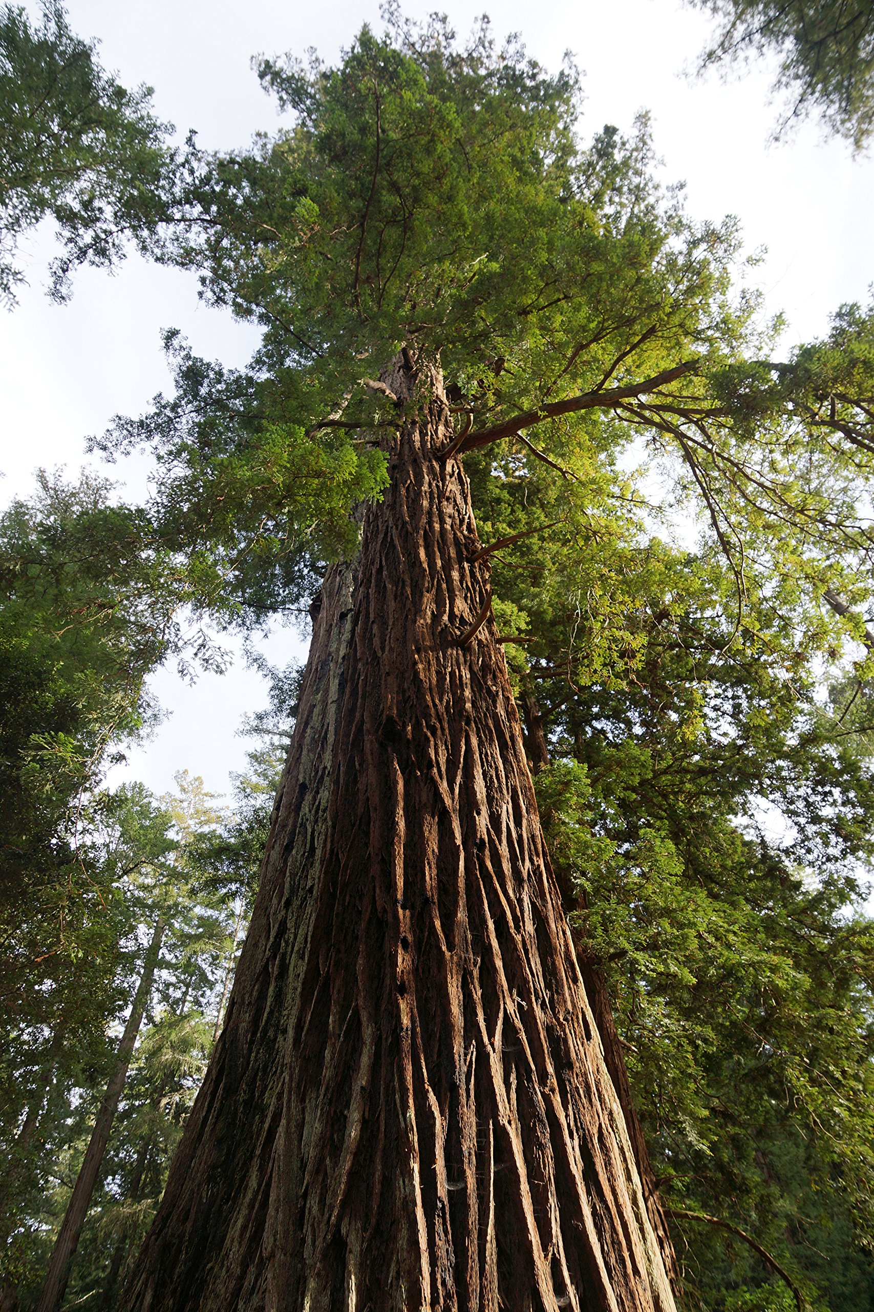 Redwoods of The World | Collection of 5 Live Tree Seedlings | The Jonsteen Company by The Jonsteen Company (Image #2)