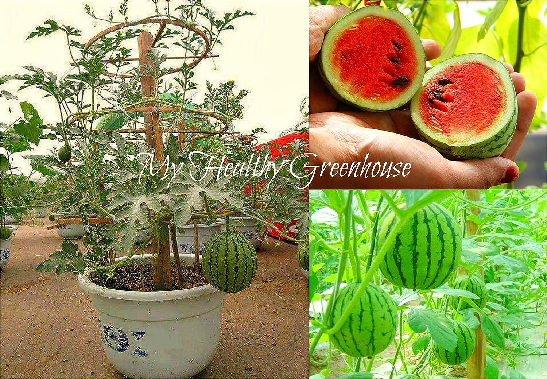 """SEEDS - Dwarf Watermelon In POTS! """"Little Baby Flower"""" – Great for"""