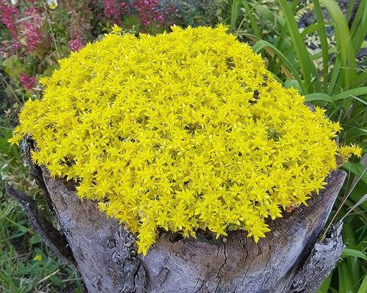 Mauerpfeffer (Sedum acre) gelb