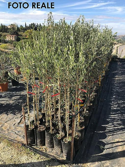 vendita di piante di ulivo
