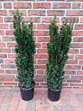 2 Stück Säulen Eibe, Höhe: 90-100 cm, Taxus Fastigiata Robusta, Säuleneibe + Dünger