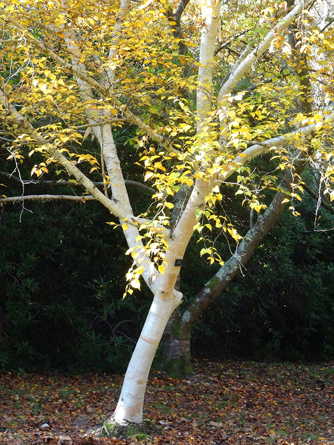 1 Silver Birch Jacquemontii 4-5ft Tall In 2L Pot Stunning Tree, Himalyan White Birch, Betula 3fatpigs® beechwoodtrees 3fatpigs®