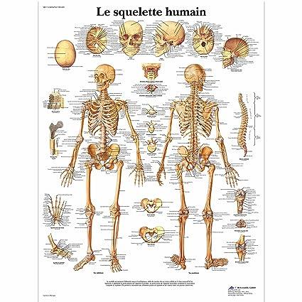 3B Scientific Planche Anatomique Le Squelette Humain plastifié  Amazon.fr   Commerce f9052d7d5ae