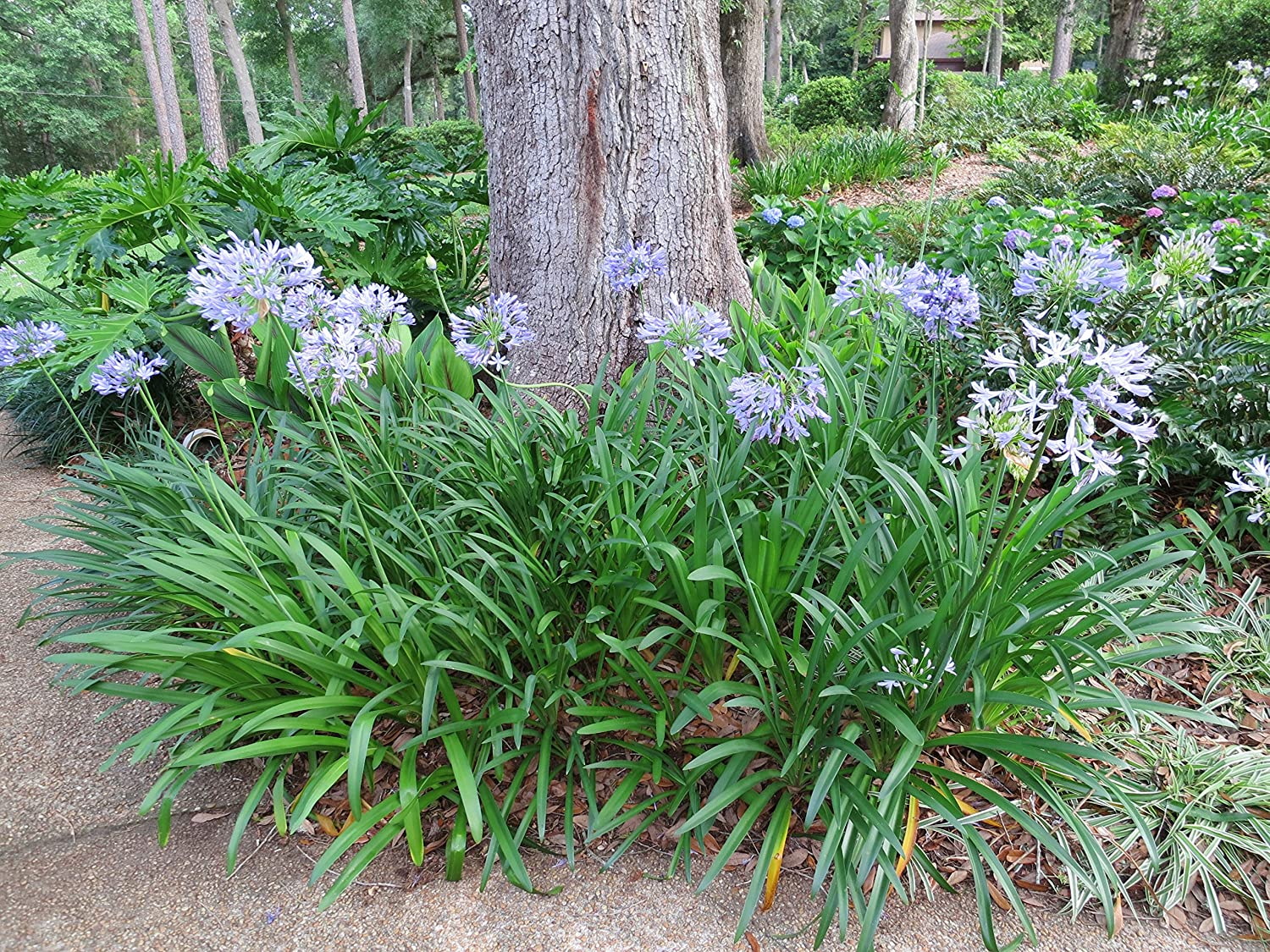 Amazon agapanthus blue the lily with the big blue flowers amazon agapanthus blue the lily with the big blue flowers attracts hummingbirds size 1 gallon garden outdoor izmirmasajfo