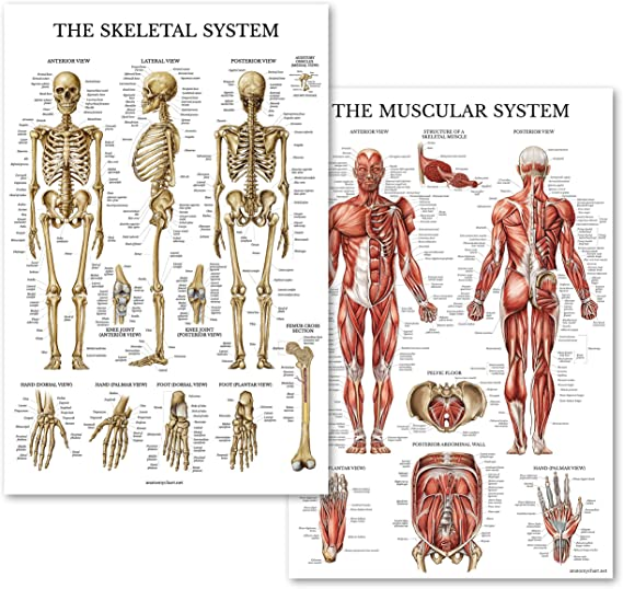 Medical Human Body Brain Education Picture Skeletal System  Anatomy Silk Poster